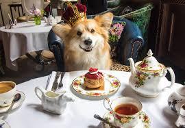 sketch is holding a royal tea party for corgis buro 24 7