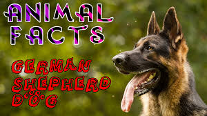 belgian shepherd 101 top 10 police dog breeds around the world dogs 101 u2013 animal facts