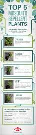 Mosquito Repellent For Home by Top 5 Mosquito Repellent Plants Mosquitoes Pinterest Summer