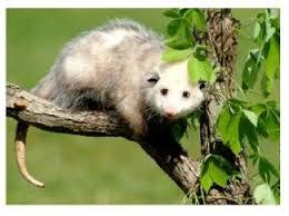 Possum In My Backyard Possum The Intruder Into Southern Ontario The Possum Should