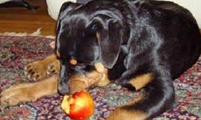 rottweiler diet archives media curious