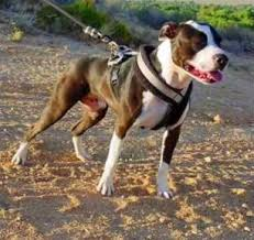 american pitbull terrier types spartan dogs north america