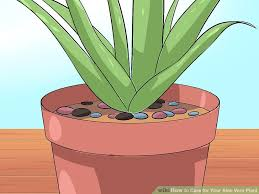 Beginners How To Grow Just by How To Care For Your Aloe Vera Plant 10 Steps With Pictures