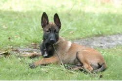 belgian shepherd how much belgian malinois breed information u0026 pictures malinois chien de