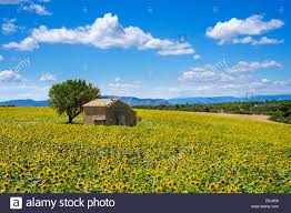 a small house in a yellow sunflower field on the plateau de stock