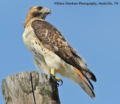 Tennessee birds images Tennessee watchable wildlife red tailed hawk habitat grassland jpg