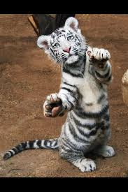 baby white tiger back light up tigers