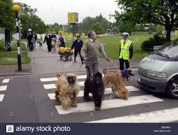 afghan hound walking crufts afghan hound stock photo royalty free image 106612790 alamy
