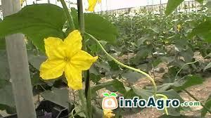 cucumbers growing 2 2 youtube