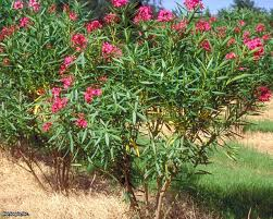 oleander is a beautiful but also toxic shrub hgtv