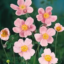 anemone plant anemone seeds perennial flowers swallowtail garden seeds