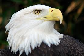 eagle and wolf among 29 species the dnr s endangered list