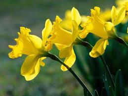 yellow flowers flowers for flower yellow flowers wallpapers