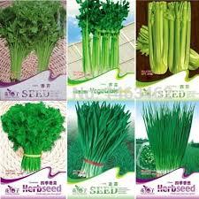 herv cuisine chinois 6 original pack chive coriander herb celery allium tuberosum rottl
