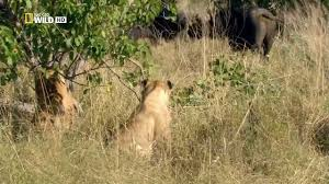 lion documentary national geographic tau the orphan lion all time