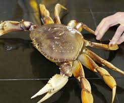 how to cook and clean a fresh dungeness crab 11 steps with pictures