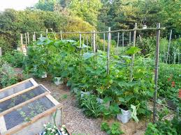 From Seed To Scrumptious Squash Trellis In Early July