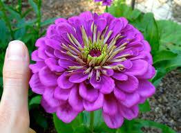 Zinnia Flower Benary Giant Zinnia Best Flower Ever A Must For Cutting Gardens