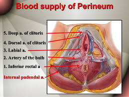 Perineum Anatomy Female Anatomy Of The Female Tract