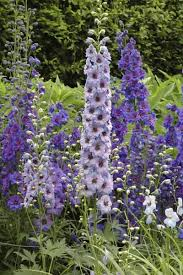 delphinium flower delphinium planting how to grow delphinium flowers