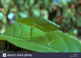 Plant Adaptation In Tropical Rainforest Leaf Insect In The Tropical Rainforest Amazon Basin Ecuador Stock