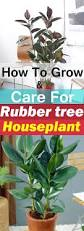 rubber tree plant care growing rubber tree houseplant balcony