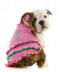 english bulldog halloween costumes fancy dress costumes images u0026 stock pictures royalty free fancy