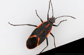 Little Black Beetles In Kitchen Thank Goodness For Boxelder Bugs The Prairie Ecologist