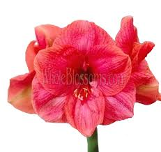 amaryllis flowers amaryllis flowers for sale amaryllis flowers for wedding