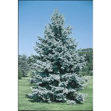 blue spruce trees shop 19 5 gallon colorado blue spruce feature tree l3937 at lowes
