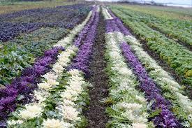 flowering kale edible margarite gardens