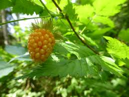 native plants of oregon native plants with edible berries my woodland garden