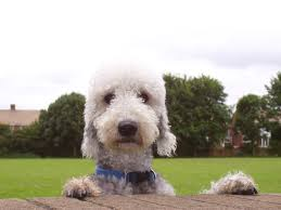 does a bedlington terrier shed bedlington terrier breed guide learn about the bedlington terrier
