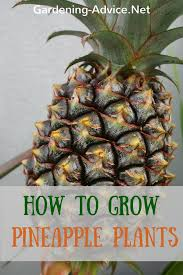 how to grow a pineapple plant as a houseplant