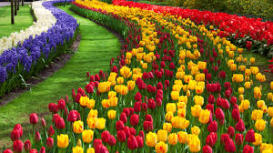pictures of a garden tulip flower garden free stock photo public domain pictures