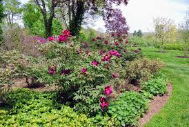 planting tree peonies from cricket hill garden the martha