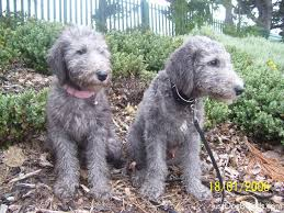 feeding a bedlington terrier dog foods and dog breeds dogs breed bedlington terrier