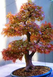 54 pcs bag japanese maple seeds maple leafs tree seeds perennial