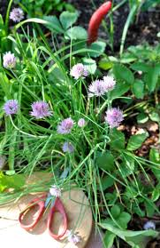 everything you need to know about growing chives kitchn
