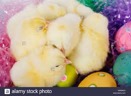 fuzzy easter fuzzy and easter eggs stock photo 16485088 alamy