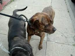 american pitbull terrier rottweiler mix male bullmastiff mixed with pitbull and rottweiler and female cane