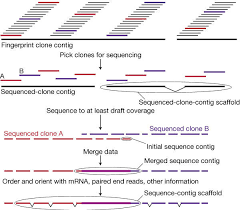 initial sequencing and analysis of the human genome nature