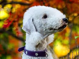 bedlington terrier seattle name that dog breed quiz rover com