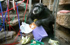 harvey the chimp dies at 52 the blade