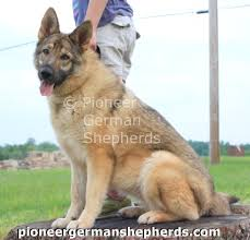 belgian sheepdog vs german shepherd giant shepherd breeders are you king shepherd breeders are your