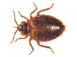 Chicago Bed Bug Experts Bed Bug Treatment Chicago Prevention Cost Cheap Affordable Il