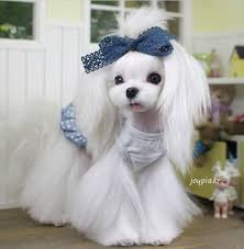 zuchon hair cuts 25 cutest maltese haircuts for your little puppy hairstylec