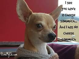 Sammich Meme - 21 funny chihuahua memes