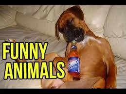 boxer dog vine animales graciosos funny animals vine compilation http