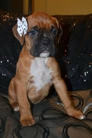 Boxer Puppy Halloween Costumes Gorgeous Boxer Boxer Dogs Dog Animal Doggies
